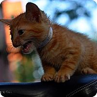 Adopt A Pet :: Gizmo - Brooklyn, NY