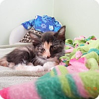 Adopt A Pet :: Pippa - Southington, CT