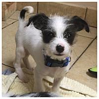 Adopt A Pet :: Chaplin - West LA, CA