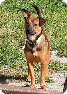 Shepherd (Unknown Type)/Beagle Mix Dog for adoption in Indianapolis, Indiana - Rupert