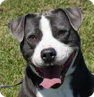Dalmatian/Pit Bull Terrier Mix Dog for adoption in Dundee, Michigan - Spike