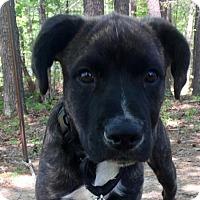 Adopt A Pet :: Olson - Brattleboro, VT