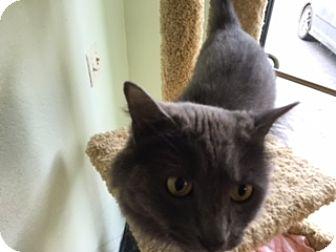 Domestic Longhair Cat for adoption in Diamond Springs, California - Shania Twain Lola