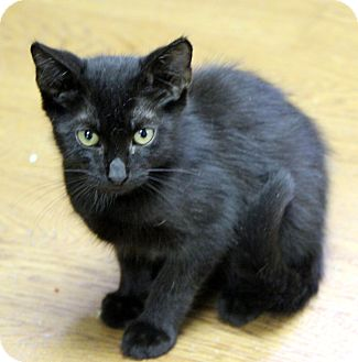 Domestic Shorthair Cat for adoption in Little River, South Carolina - Toothless