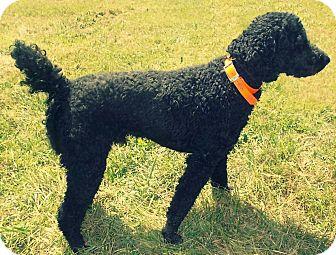 Labradoodle Mix Dog for adoption in Hazard, Kentucky - Jasper