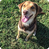Australian Shepherd/Beagle Mix Dog for adoption in Russellville, Kentucky - Shiloh