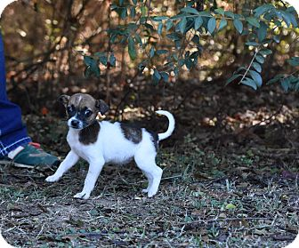 Rat Terrier/Chihuahua Mix Puppy for adoption in Groton, Massachusetts - Minnie