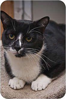 Domestic Mediumhair Cat for adoption in Beacon, New York - Wally