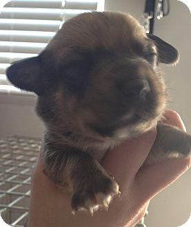 Cardigan Welsh Corgi/Corgi Mix Puppy for adoption in Lancaster, Ohio - Kit