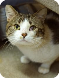 Domestic Shorthair Cat for adoption in Medford, Massachusetts - Grover