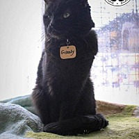 Domestic Shorthair Cat for adoption in Montreal, Quebec - Grizzly