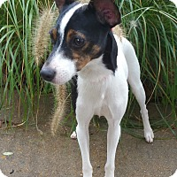 Adopt A Pet :: Daisy - Bridgeton, MO
