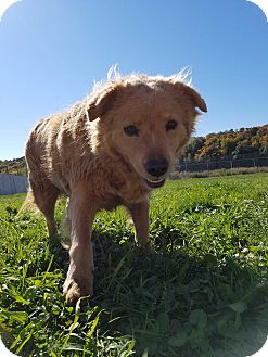 Retriever (Unknown Type) Mix Dog for adoption in East Smithfield, Pennsylvania - Linus