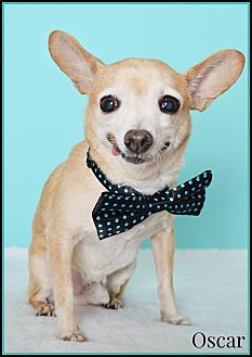 Chihuahua Mix Dog for adoption in Phoenix, Arizona - Oscar