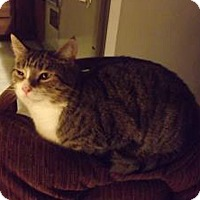 Domestic Shorthair Cat for adoption in Owatonna, Minnesota - Stripe