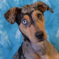 Adopt A Pet :: Veruca - Eureka, CA