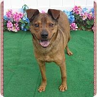 Adopt A Pet :: CHOCOLATA - Marietta, GA