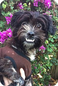 Shih Tzu Dog for adoption in West Palm Beach, Florida - Happy