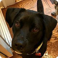 Labrador Retriever/Retriever (Unknown Type) Mix Dog for adoption in Bedford Hills, New York - Duke