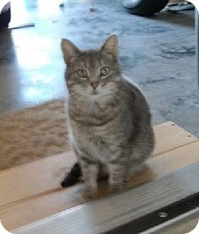 Domestic Shorthair Cat for adoption in Bentonville, Arkansas - Grey Ghost