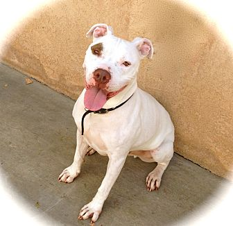 American Staffordshire Terrier/Pit Bull Terrier Mix Dog for adoption in Los Angeles, California - Handsome Blanco