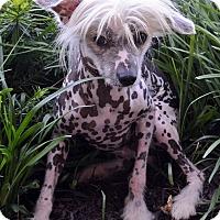 Adopt A Pet :: Arrow-Adoption pending - Bridgeton, MO