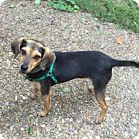 Beagle/Rat Terrier Mix Dog for adoption in Virginia Beach, Virginia - Eddie