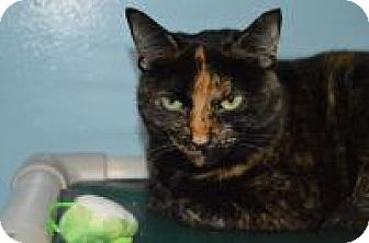 Domestic Shorthair Cat for adoption in Warren, Michigan - Kit Kat
