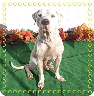 American Bulldog Mix Dog for adoption in Marietta, Georgia - BANDIT