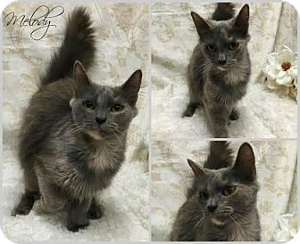 Domestic Mediumhair Cat for adoption in Joliet, Illinois - Melody