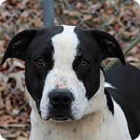 Boxer Mix Dog for adoption in Allentown, Pennsylvania - Patsy