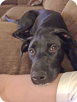 Labrador Retriever Mix Puppy for adoption in Seattle, Washington - Grisley