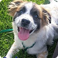 Adopt A Pet :: Smokey - Brazil, IN