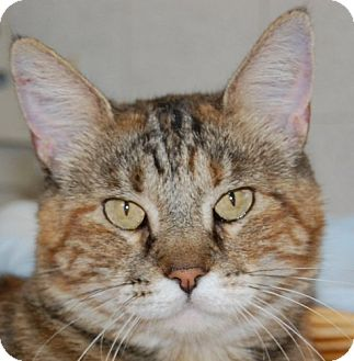 Domestic Mediumhair Cat for adoption in Hot Springs, Arkansas - Ms. Pita