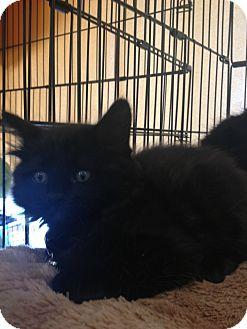 Domestic Mediumhair Kitten for adoption in Palm Springs, California - Joe & Louie