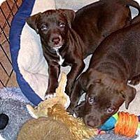 Adopt A Pet :: Choc pups - Scottsdale, AZ