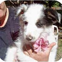 Adopt A Pet :: Snowbelle - Mesa, AZ