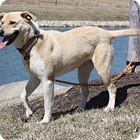 Adopt A Pet :: Lacey - Lewisville, IN