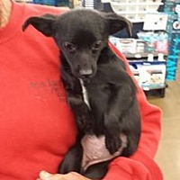 Adopt A Pet :: SusieQ - Fresno, CA