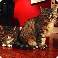 Adopt A Pet :: Little Miss Sunshine - Toronto, ON