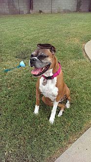 Boxer Dog for adoption in Phoenix, Arizona - Bellina