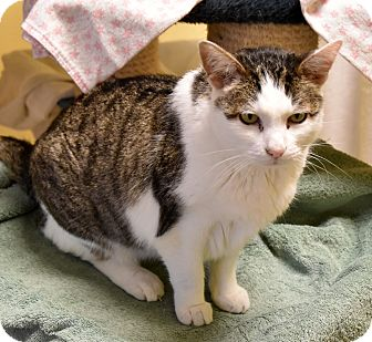 Domestic Shorthair Cat for adoption in Eastsound, Washington - Zeppelin
