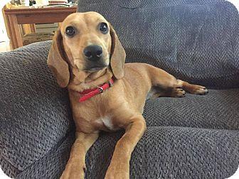 Dachshund Mix Puppy for adoption in Ashville, Ohio - Peggy Sue