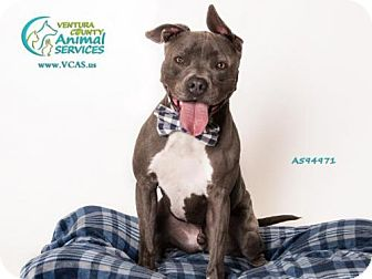 Pit Bull Terrier Dog for adoption in Camarillo, California - TITAN