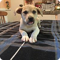 Adopt A Pet :: Carson - Kittery, ME