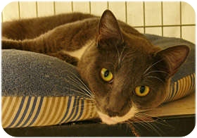 Domestic Shorthair Cat for adoption in Milford, Massachusetts - Dillon