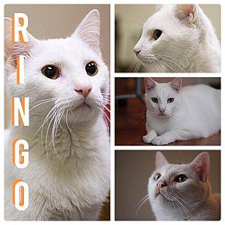 Domestic Shorthair Kitten for adoption in Chicago, Illinois - Ringo