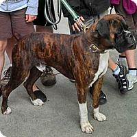 Adopt A Pet :: El Capone - AMAZING boy!!! - Seattle, WA