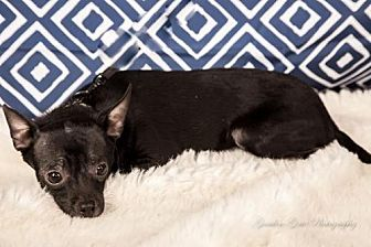 Chihuahua Dog for adoption in Elizabethtown, Pennsylvania - Marley from the 'band'