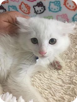 Domestic Mediumhair Kitten for adoption in Fountain Hills, Arizona - LIONEL